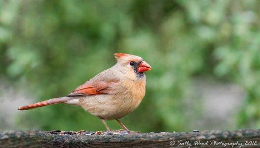 cardinal brightess adjust-2
