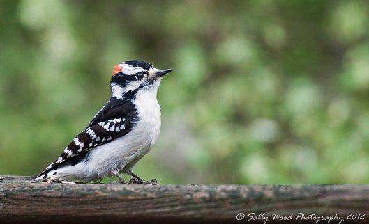 woodpecker pse